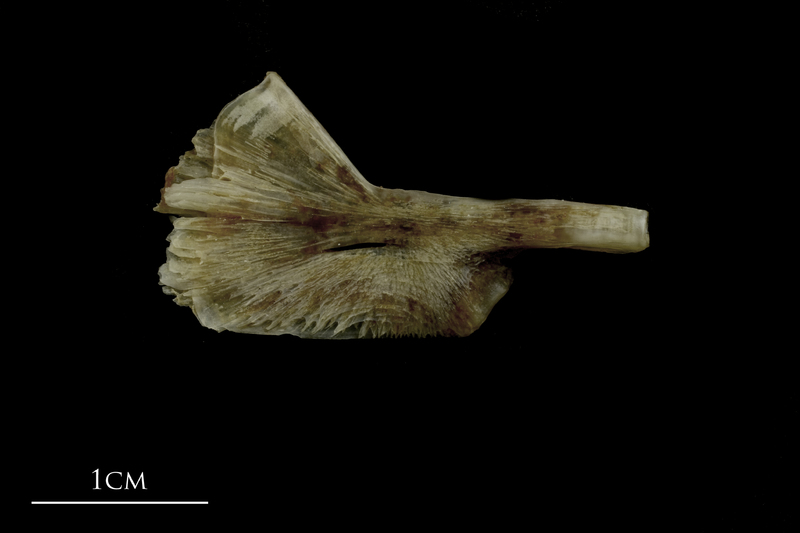 Brill ceratohyal lateral view