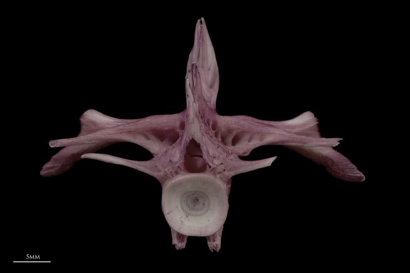 Wels catfish first vertebra posterior view