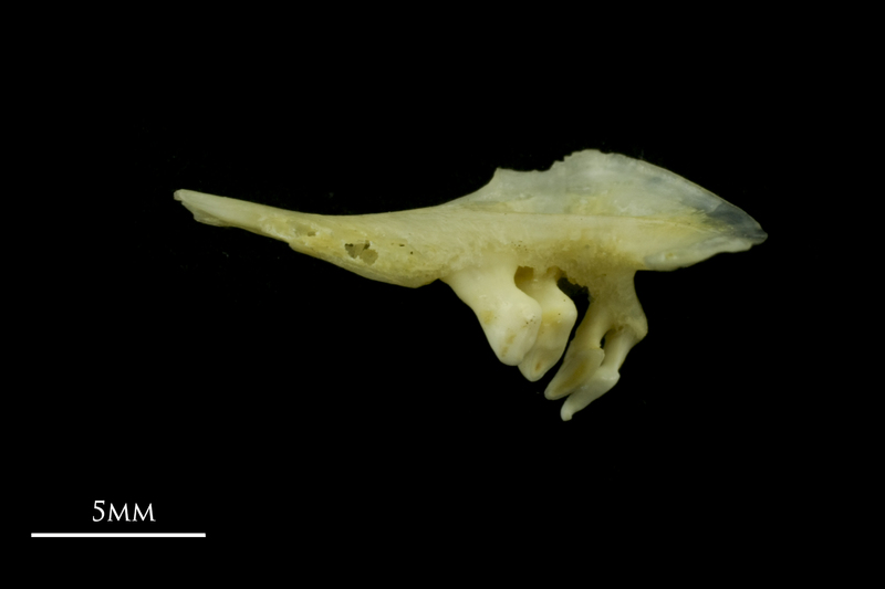 Tench pharyngeal ventral view