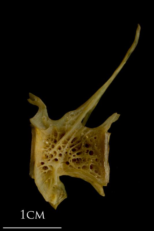 Thinlip grey mullet  precaudal vertebra lateral view