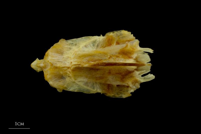 Gilthead seabream parasphenoid basioccipital vomer complex dorsal view