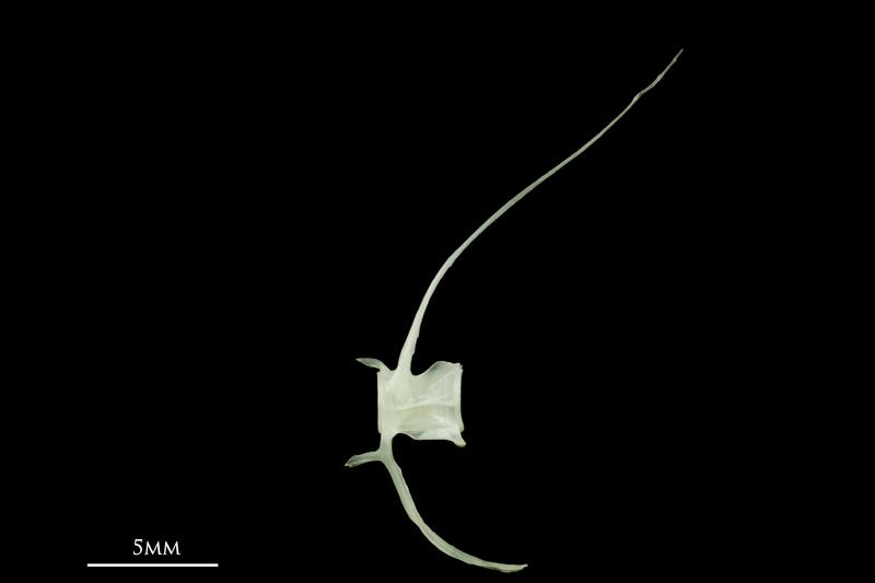 European pilchard caudal vertebra lateral view