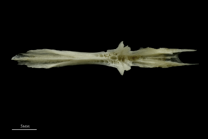 Common pandora parasphenoid dorsal view