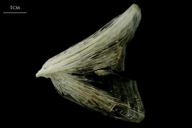 Atlantic halibut opercular lateral view
