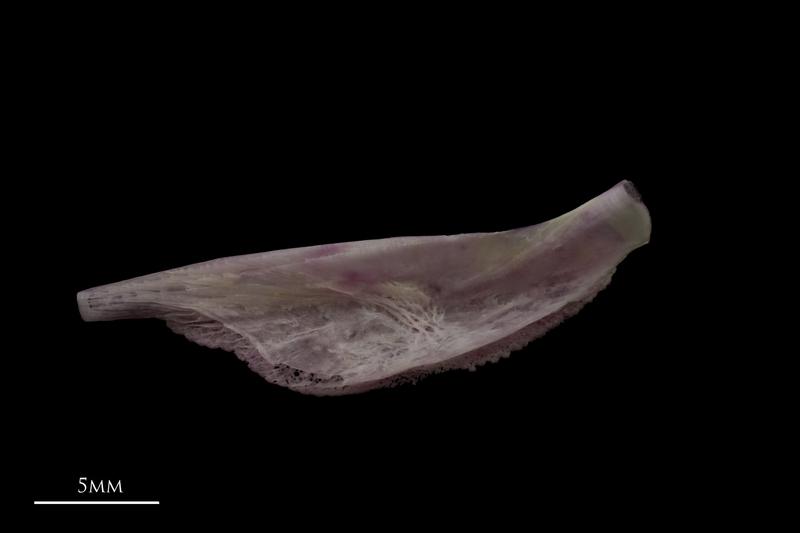 Tub gurnard pharyngeal ventral view