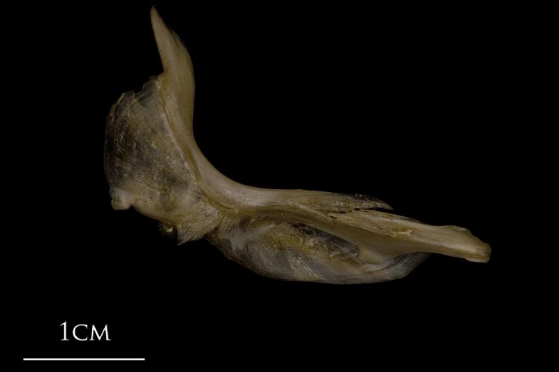 White grouper cleithrum medial view