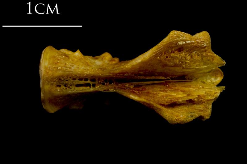 Thinlip grey mullet  basioccipital ventral view