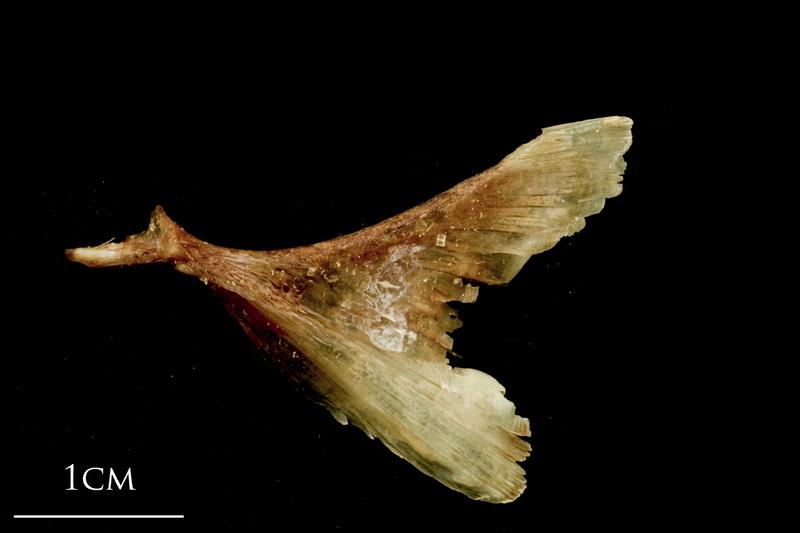 Catfish opercular lateral view