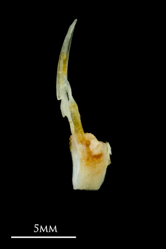 Common sole precaudal vertebra lateral view
