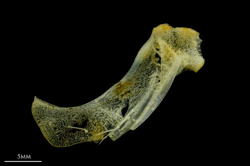 Scad hyomandibular lateral view