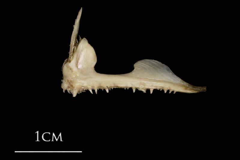 White grouper premaxilla lateral view