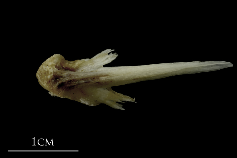 Brill vomer ventral view
