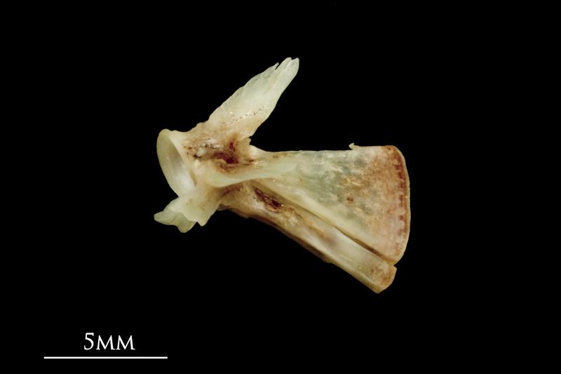 Garfish ultimate vertebra lateral view