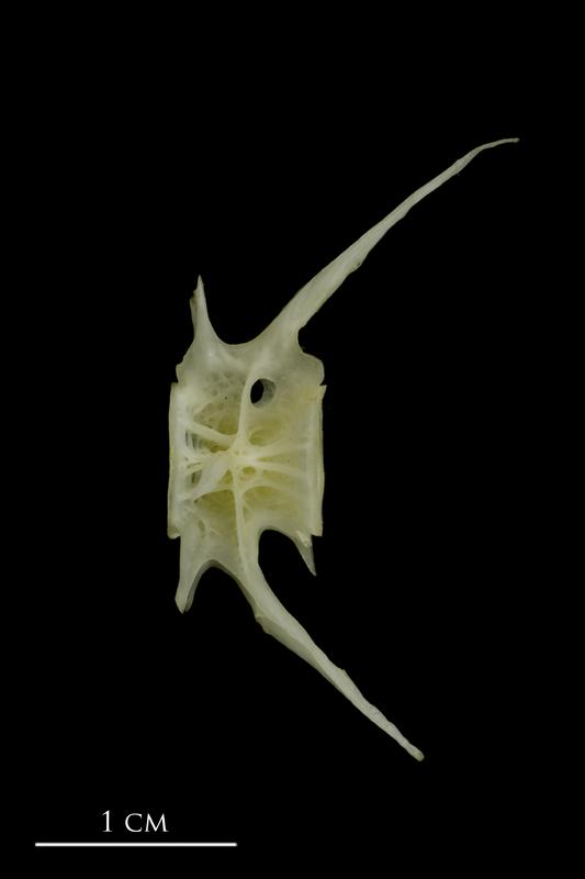European conger caudal vertebra lateral view