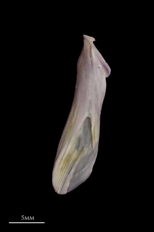 Tub gurnard supracleithrum lateral view