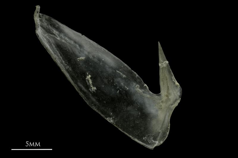 Common pandora subopercular medial view