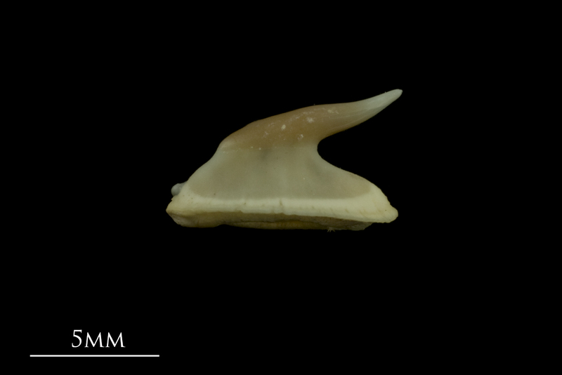 Thornback ray buckler spine lateral view