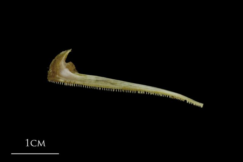 Spanish mackerel premaxilla lateral view