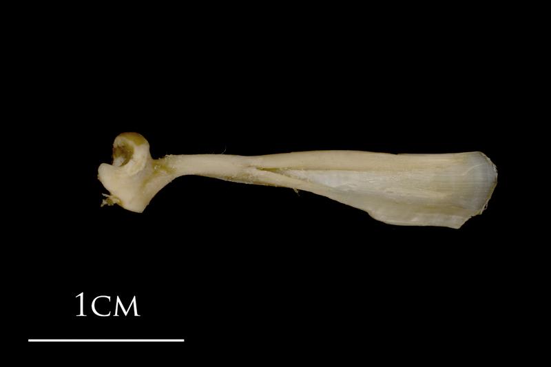 White grouper maxilla lateral view