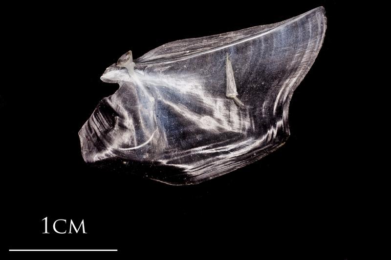 Atlantic herring opercular medial view
