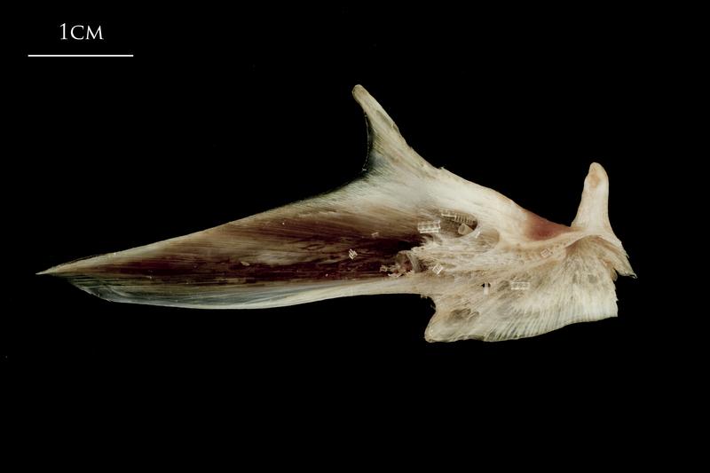 Atlantic halibut articular medial view