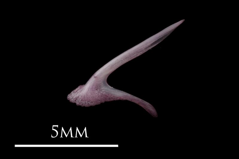 Dragonet premaxilla lateral view