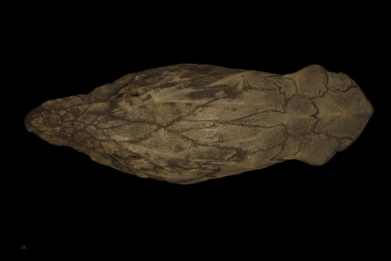 Sturgeon skull dorsal view