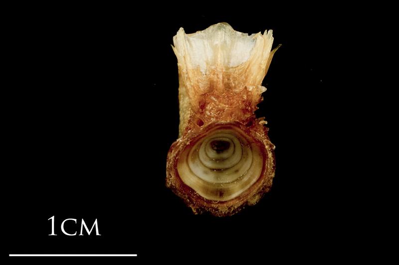 Catfish basioccipital anterior view