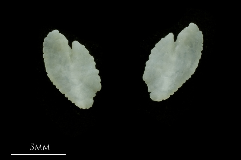 Black seabream otolith(s) detail view