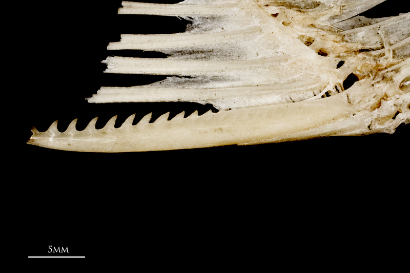 Common carp serrated spine medial view