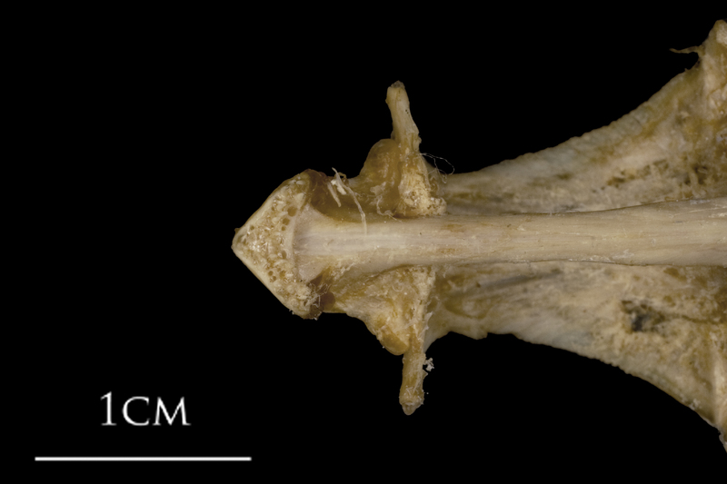White grouper parasphenoid basioccipital vomer complex ventral view