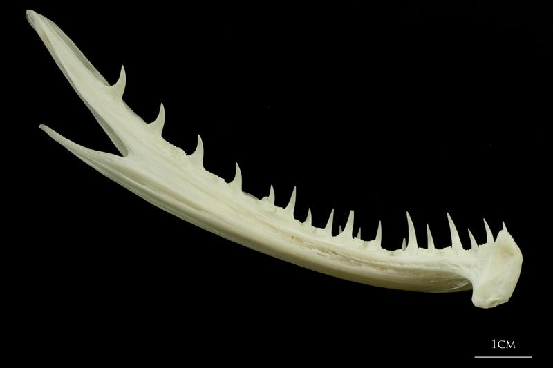 Angler fish dentary medial view