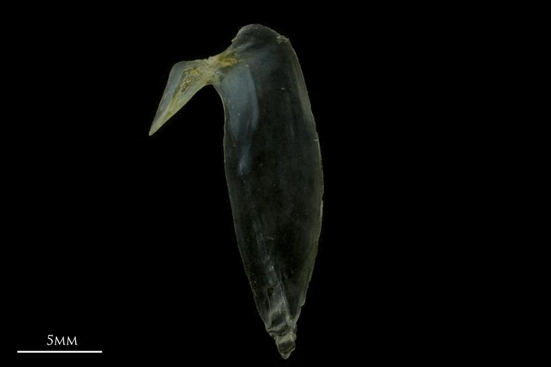 Black seabream subopercular medial view