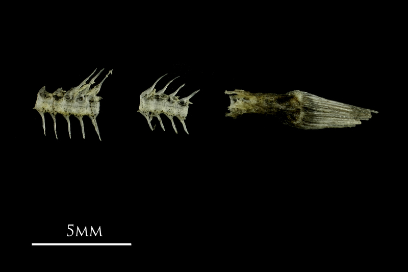 Three-spined stickleback vertebral column lateral view