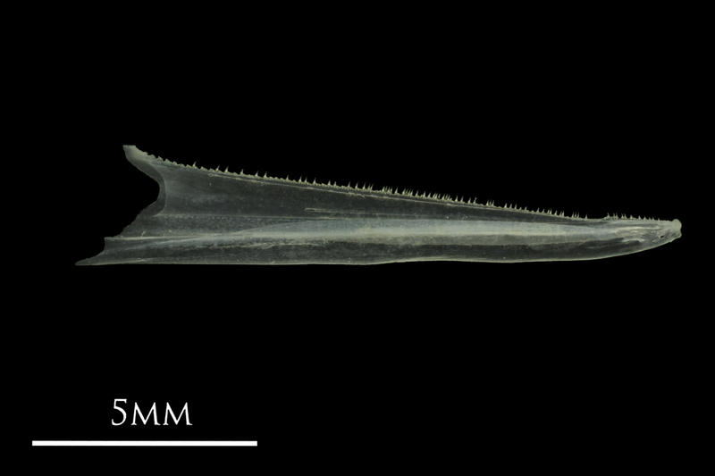 European anchovy dentary medial view