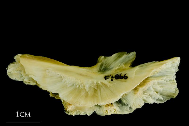 Atlantic cod preopercular lateral view