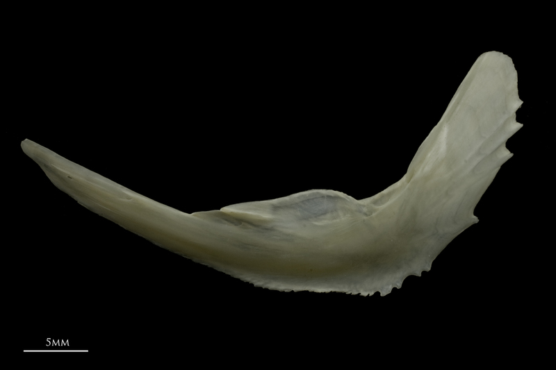 Zander preopercular lateral view