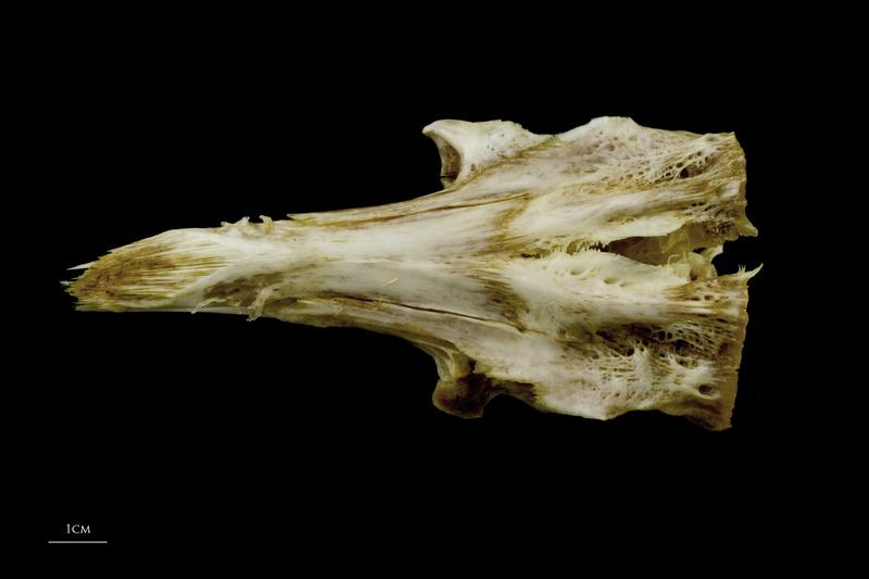 European conger parasphenoid basioccipital complex dorsal view