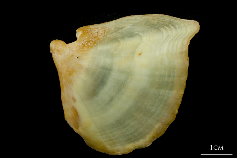 Thinlip grey mullet  opercular lateral view