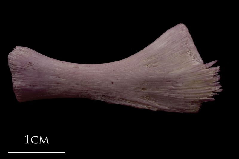 Wels catfish ceratohyal lateral view
