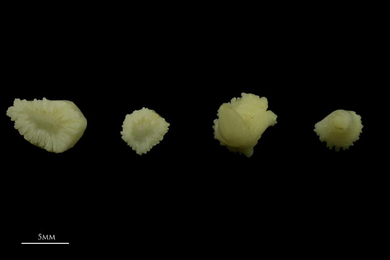 Catfish teeth dorsal view