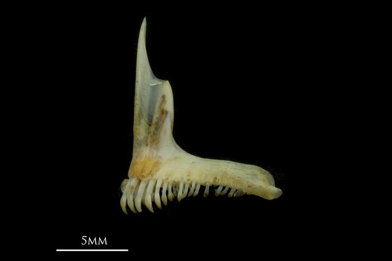 Black seabream premaxilla lateral view