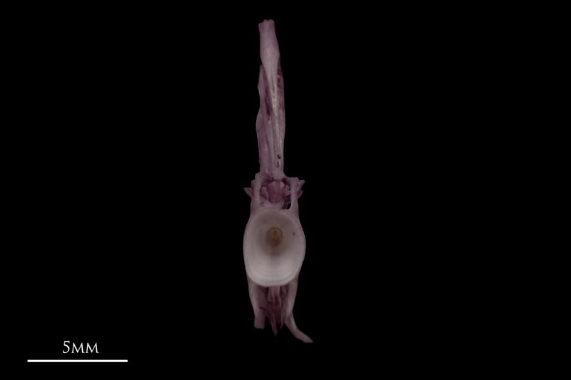 Wels catfish ultimate vertebra anterior view