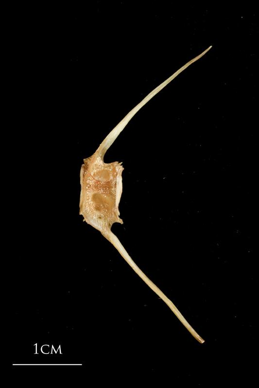 Catfish caudal vertebra lateral view
