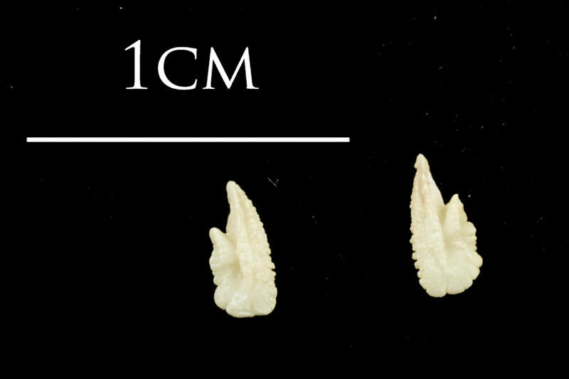 Catfish otolith(s) detail view