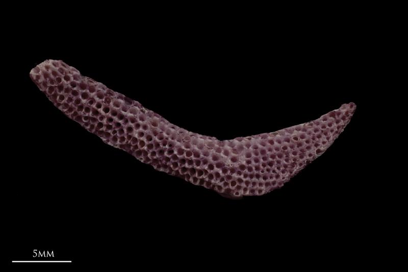 Wels catfish pharyngeal dorsal view