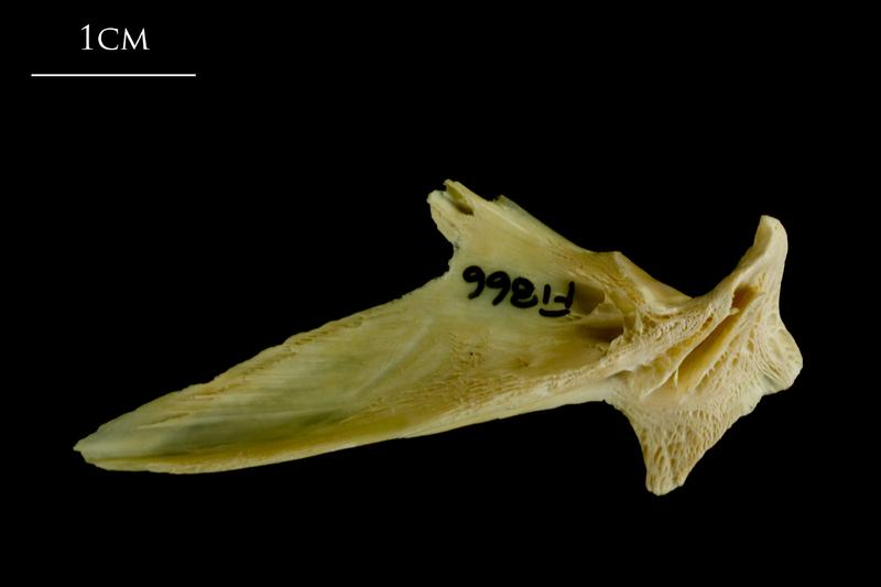 Atlantic cod articular lateral view