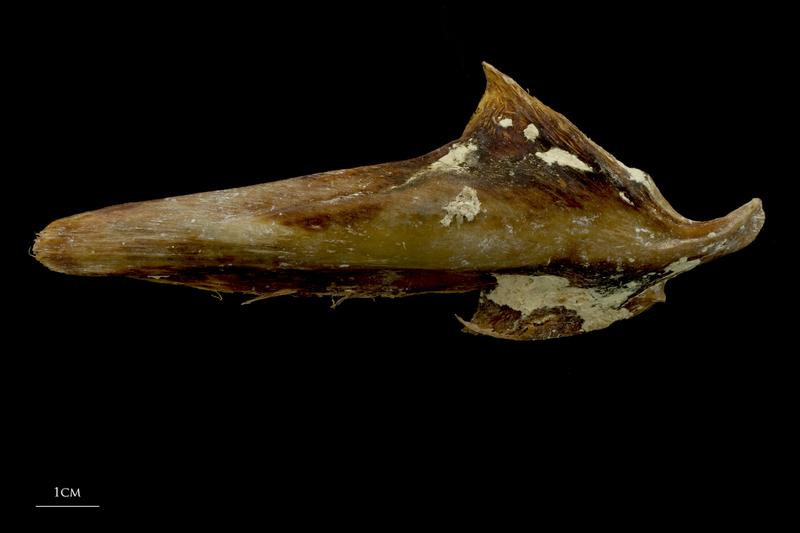 Atlantic bluefin tuna  articular lateral view