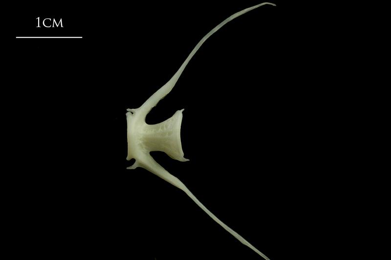 Whiting caudal vertebra lateral view