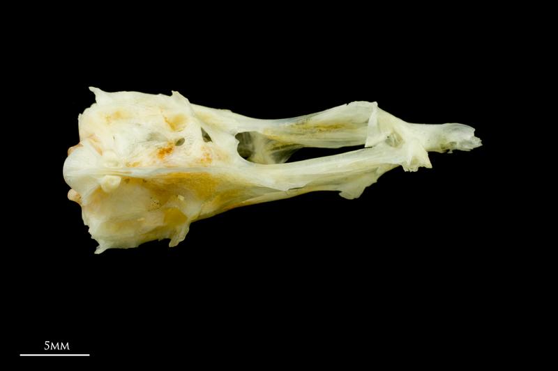 Common sole basioccipital ventral view